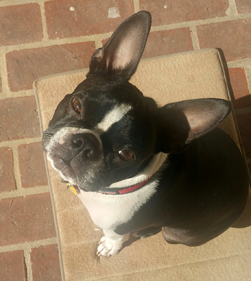 This is Tucker, Debbie Deshotel's (customer support) Boston Terrier. Lover of tennis balls, popsicles, strawberries and long car rides!
